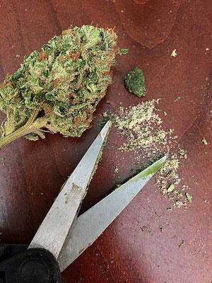 cannabis trimmen trocken