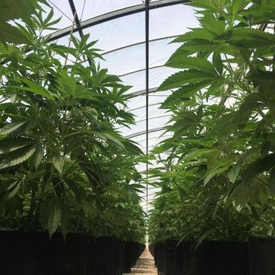 Cannabis Anbau Gewächshaus