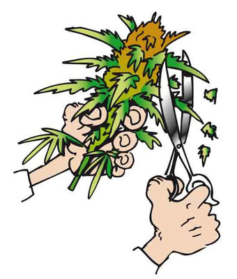 Ernte Vorgang eines Cannabis Blütenstandes mit einer Schere