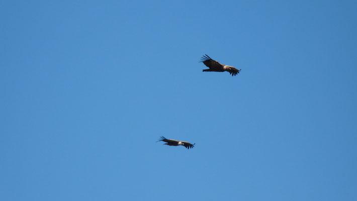 vautours au Garalda