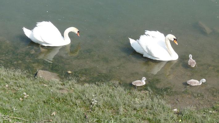 la famille cygnes au port de Hastingues