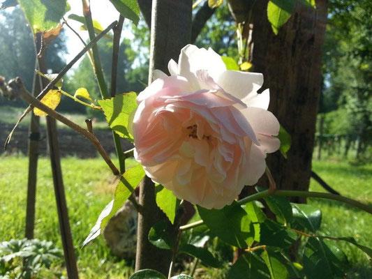 rose ancienne froissée