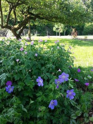 géranium vivace violet dans l'ombre