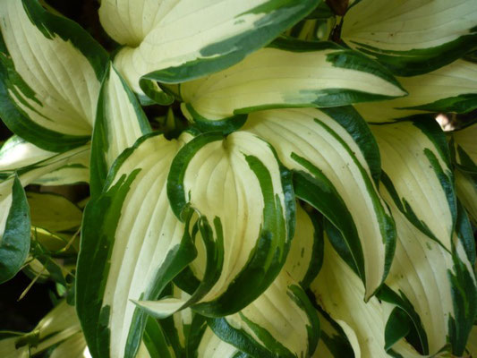Hosta 'White Christmas'