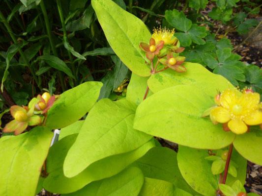 Hypericum calycinum 'Rose von Sharon Aureum'