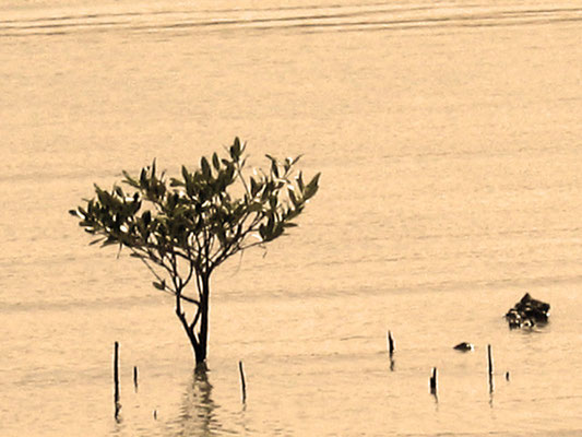Мангровое деревце