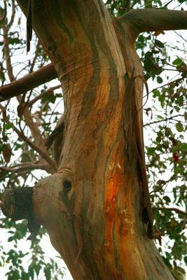 Дивное дерево – весь род Эвкалипт (Eucalyptus)