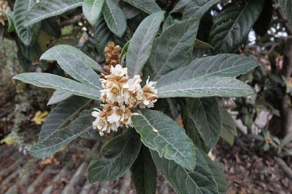 Чашковое дерево – Мушмула (Mespilus)