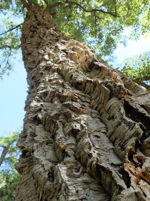 Втулочное дерево – Дуб пробковый (Quercus suber) Оно же Пробковое