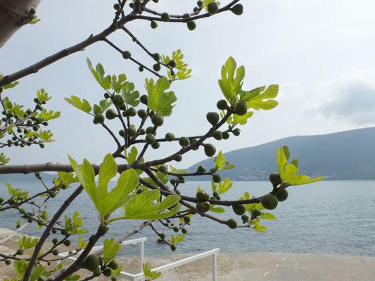 Фиговое дерево – Инжир (Ficus carica)
