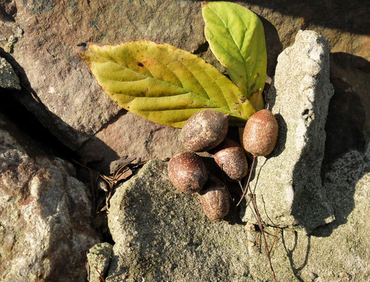 Боб - дерево - Синоджакия древоплодная (Sinojackia xylocarpa) оно же Маятниковое дерево.