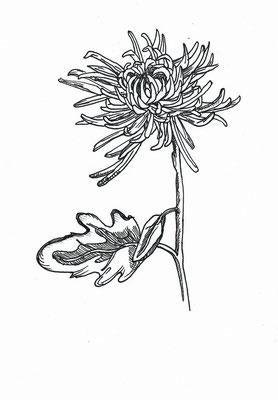 Хризантема моя