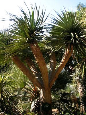 Драконово дерево - Драцена драконовая (Dracaena draco)