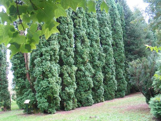 Жизненное дерево - Туя (Thuja) оно жн Кадильное