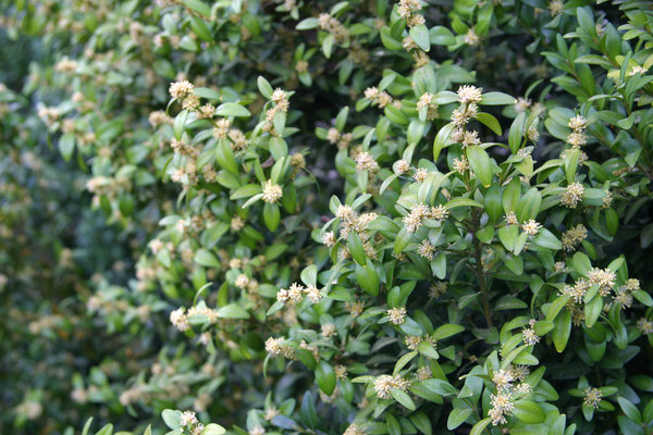 Драгоценное дерево - Самшит (Buxus) оно же Зеленичье и Каменное