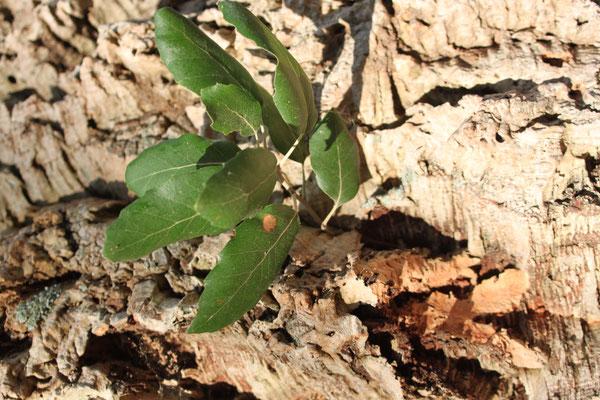 Пробковое дерево – Дуб пробковый (Quercus suber), оно же Втулочное дерево