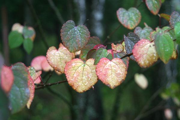 Пряничное дерево - Багряник японский (Cercidiphyllum japonicum)