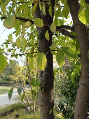 Маятниковое древо - Синоджакия древоплодная (Sinojackia xylocarpa) оно же Молот-дерево и Боб - дерево.