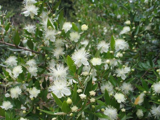 Невесты дерево – Мирт обыкновенный (Myrtus communis)