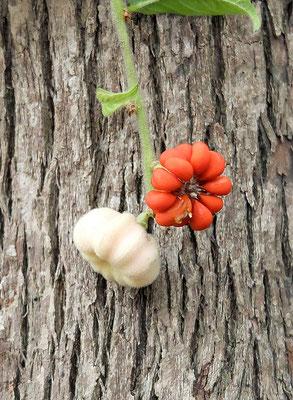 Дождевое дерево – Глохидион Фернанада (Glochidion ferdinandi), оно же Ручейное, оно же Плачущее дерево