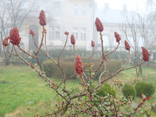 Уксусное дерево – Сумах оленерогий, или Сумах пушистый (Rhus typhina)