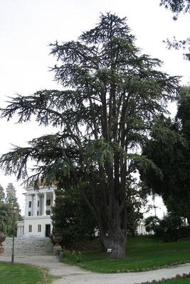 Вилла Торлония, старыйй кедр ливанский