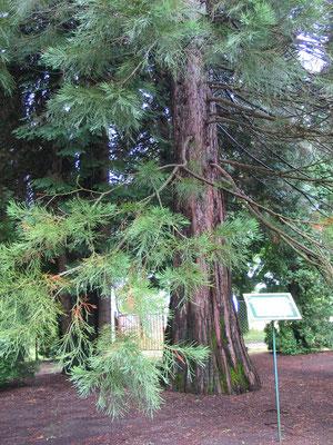 Мамонтовое дерево – Секвойядендрон гигантский (Sequoiadendron giganteum)