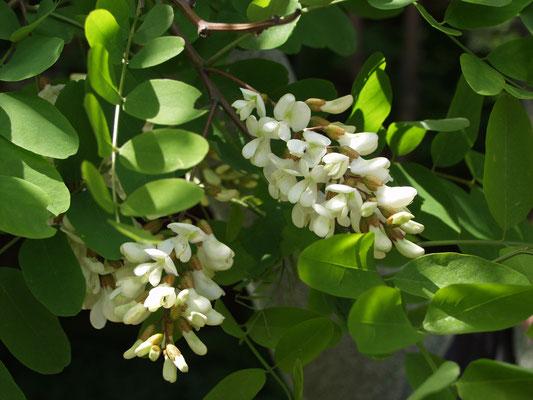 Гороховое дерево - Робиния (Robinia pseudoacacia)