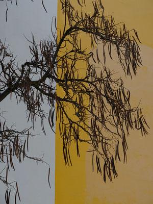 Макаронное дерево -  род Катальпа (Catalpa) оно же Орхидейное дерево, плоды