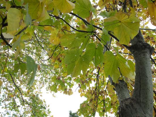 Зонтичное дерево - Фирмиана простая (Firmiana simplex)