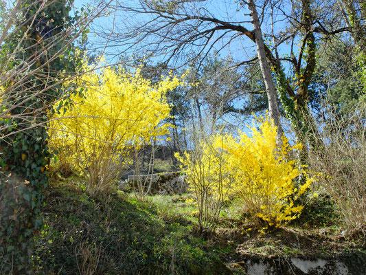 Пасхальное дерево – Форзиция (Forsythia)