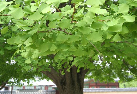 Старое дерево гинкго в Сеуле