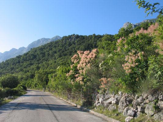 Париковое дерево – Скумпия кожевенная (Cotinus coggigria)