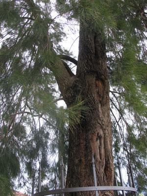 Эоловое дерево - Казуарина хвощевидная (Casuarina equisetifolia)