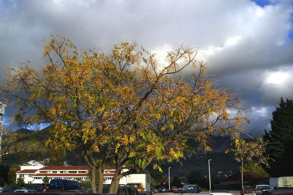 Чётковое (Чёточное) дерево – Мелия азедарах  (Melia azedarach)