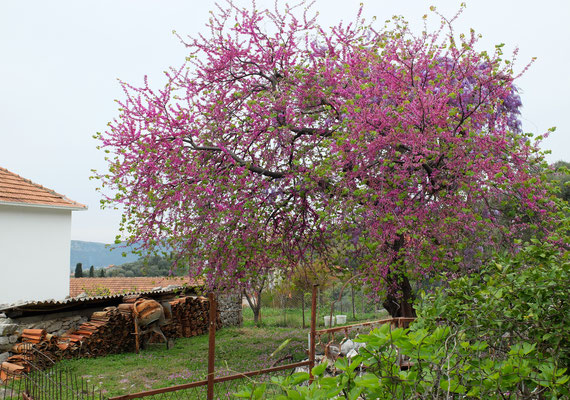 Иудино дерево - Церцис европейский  (Cercis siliquastrum)