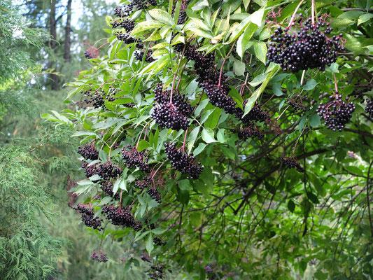 Судьбы дерево - Бузина черная (Sambucus nigra)