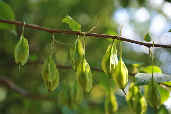 Ландышевое дерево – Галезия (Halesia), плоды