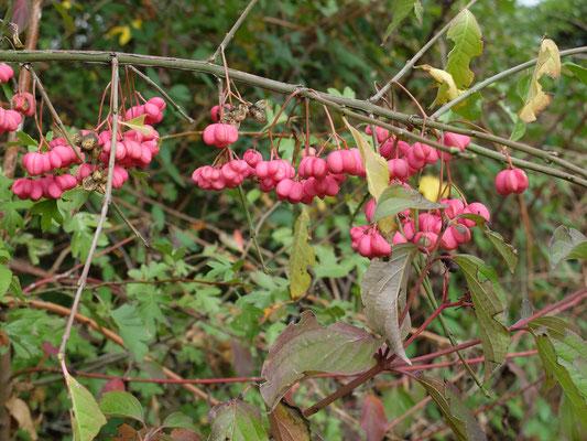 Веретенное дерево - Бересклет европейский (Euonymus europaeus)