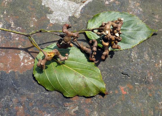 Конфетное дерево - Говения сладкая (Hovenia dulcis)