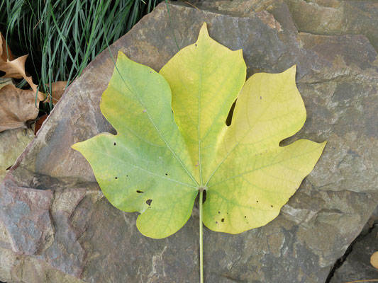 Японское маковое дерево - Фирмиана простая (Firmiana simplex)  оно же Зонтичное