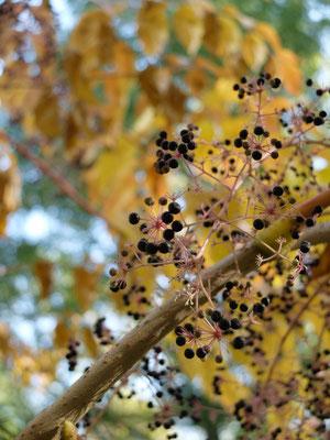 Чёртово дерево – Аралия манчжурская, или высокая (Aralia mandhurica = A. Elata)