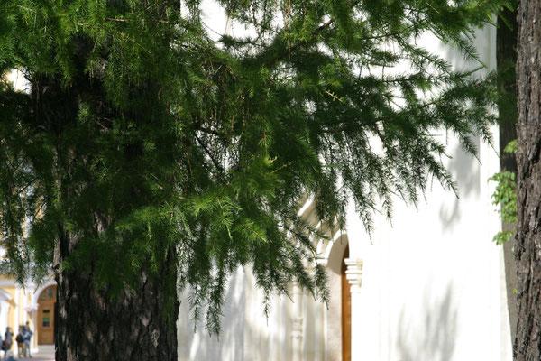 Ведьмино дерево - Лиственница сибирская (Larix sibirica)