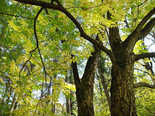 Пробковое дерево 2 – Бархат амурский (Phellodendron amurense)