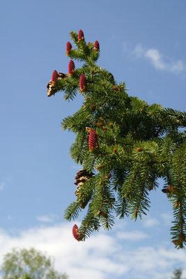 Похоронное дерево – Ель обыкновенная (Picea abies)