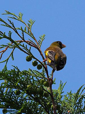 カワラヒワ Verdone asiatico Oriental greenfinch Carduelis sinica