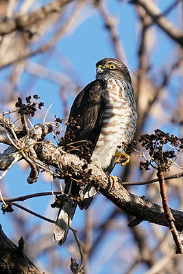 ツミ Japanese lesser sparrowhawk Accipiter gularis (Young)