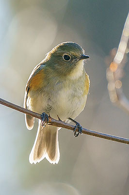 ルリビタキ Red-flanked bluetail Tarsiger cyanurus (F)