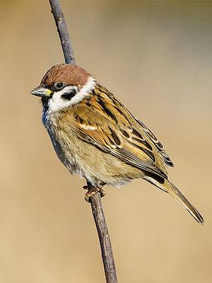 スズメ Passero mattugio Tree Sparrow Passer montanus