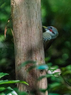 アオゲラ Picchio del Giappone Japanese green woodpecker Picus awokera